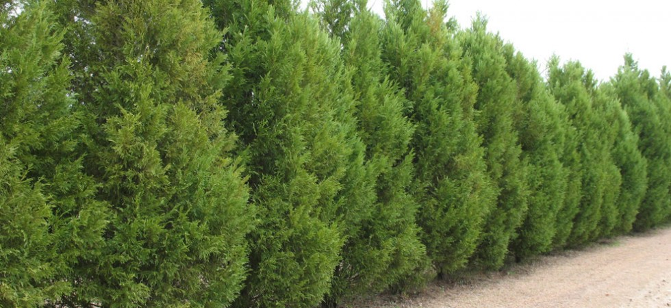 Sawara false cypress